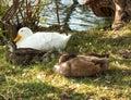 Ducks at the lake Royalty Free Stock Photo