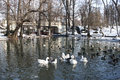 Ducks on lake and geese in winter Stock Photography