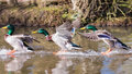 Ducks landing on water in sequence. Frozen motion. Royalty Free Stock Photo