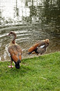 Ducks at the park are bathing in Royalty Free Stock Image