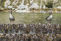 Ducks in the park pair of wild zoo angry love pond Stock Images