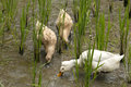 Ducks pecking at a rice paddy Royalty Free Stock Photos