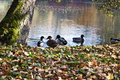 Ducks on pond with fallen leaves on bank in Plauen city
