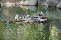 Ducks in pond juveniles of pecking duck sitting on rock of a small lake a park Royalty Free Stock Images