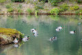 Ducks on the pond at the Kinkaku temple in Kyoto, Japan Royalty Free Stock Photo