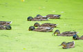 Ducks in the pond Royalty Free Stock Photo