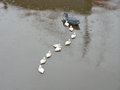 Ducks in a row duck and ducklings enjoy rainy day Royalty Free Stock Photography