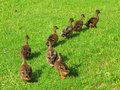 Ducks in a row following leader funny moment from wildlife Royalty Free Stock Images