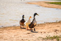 Ducks on sand near lake three waddle over after exiting Royalty Free Stock Images