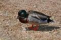 Ducks on shore of Estes Park Lake near Rocky Mountain National Park in Colorado Royalty Free Stock Photo