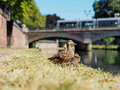 Ducks in summer with bridge in background Royalty Free Stock Photo