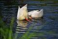 Ducks swim in river, dive for fish Royalty Free Stock Photo