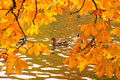 Ducks swimming across the pond in autumnal park Royalty Free Stock Photos