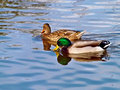 Ducks swimming in blue water Royalty Free Stock Photo