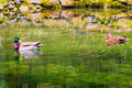 Ducks swimming in a lake photo of two male and female together Stock Photos