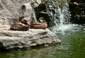 Ducks two duck have a rest on the rock Stock Photos