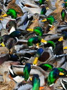 Ducks unlimited lots of all frenzied after food Royalty Free Stock Image