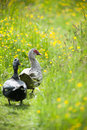 Ducks waddling through a meadow muscovy summer Stock Images