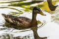 Ducks in water Royalty Free Stock Photo