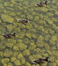 Ducks in water a river michigan Royalty Free Stock Image