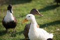 Ducks white duck closeup wild with a in the middle walking in grass Stock Photos