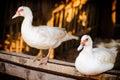 Ducks white in the farm Stock Image
