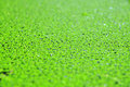 Duckweed Royalty Free Stock Images