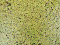 Duckweed Background Stock Photo