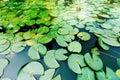 Duckweed Royalty Free Stock Photo