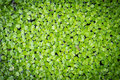 Duckweed on the water Royalty Free Stock Photography