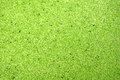 Duckweed water surface covered by for nature background Stock Photo