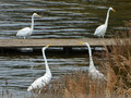 Duel of white herons in marsh Stock Photography