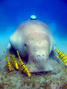 Dugong Stock Photos