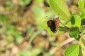 Duke of burgundy butterfly on the leaf Stock Images