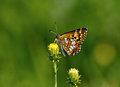 Duke of burgundy hamearis lucina butterfly fritillary sitting on a flower Stock Image