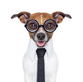 Dumb business dog with funny glasses and suit Royalty Free Stock Images
