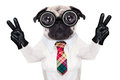 Dumb cool crazy dog pug with nerd glasses as an office business worker with pencil in mouth making peace and victory signs with Stock Images