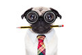 Dumb crazy dog pug with nerd glasses as an office business worker with pencil in mouth isolated on white background Royalty Free Stock Image