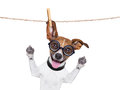 Dumb crazy dog silly with funny glasses hanging on a clothes line Royalty Free Stock Photo