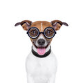 Dumb crazy dog silly with funny glasses and tongue ears down Royalty Free Stock Photography
