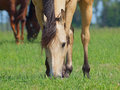 Dun horse on a pasture eats grass Royalty Free Stock Photos