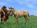 Grigio cavallo puledro