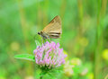 Dun skipper butterfly a close up top view of a feeding from a clover blossom i believe it to be a female Stock Images