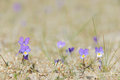 Dune pansy purple viola curtisii flowers in the sand Stock Images