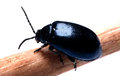 Dung Beetle dark blue black isolated white background Royalty Free Stock Photo