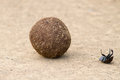 Dung beetle fall off dung ball falling while rolling struglling on back upside down Royalty Free Stock Images