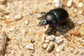 Dung beetle on the road cute making its way forest ground Royalty Free Stock Images