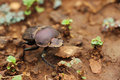 Dung beetle walking on the ground close up of a Royalty Free Stock Images