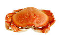 Dungeness crab cooked isolated on white background Royalty Free Stock Image