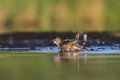 The dunlin calidris alpina bathing in natural enviroment Royalty Free Stock Image